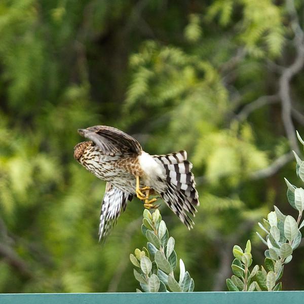 Hawk_14.jpg