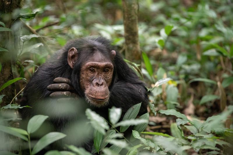 Uganda_T_Chimps-716.jpg