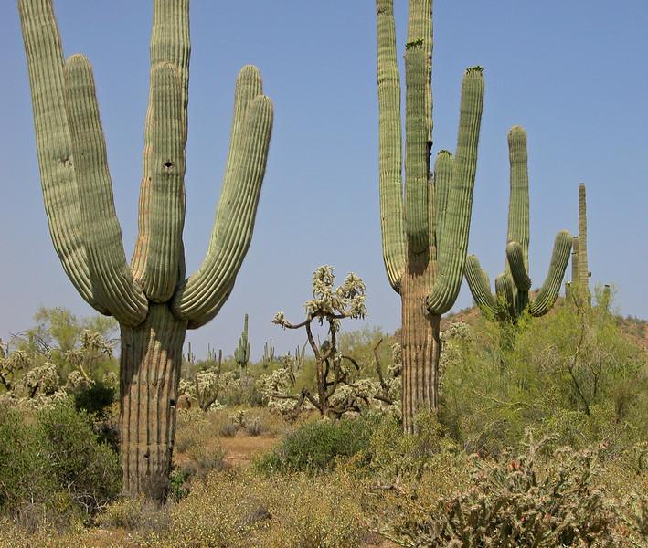 Whistling Saguaro Cat Peaks Trail.jpg