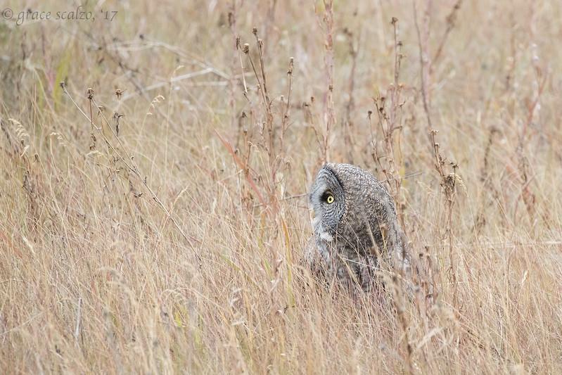 Great Gray Owl in Field