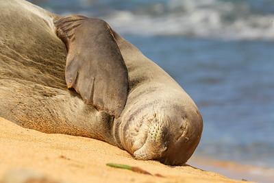 Hawaiian Monk Seal prayer.  © 2020 Kenneth R. Sheide