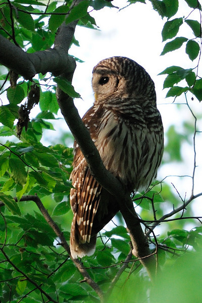 Barred Owl at dusk Fairfax County, Virginia