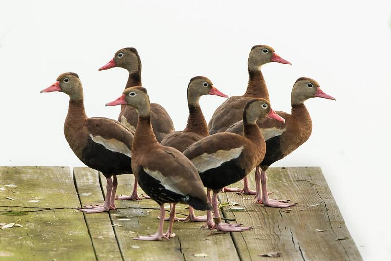 Black-bellied Whistler ducks on Avery Island.