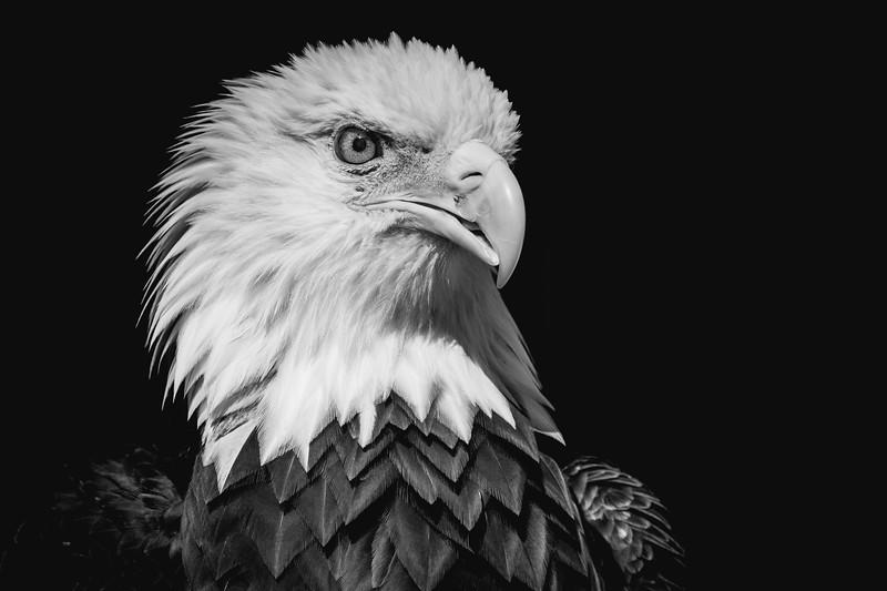 Trouble the Eagle.jpg