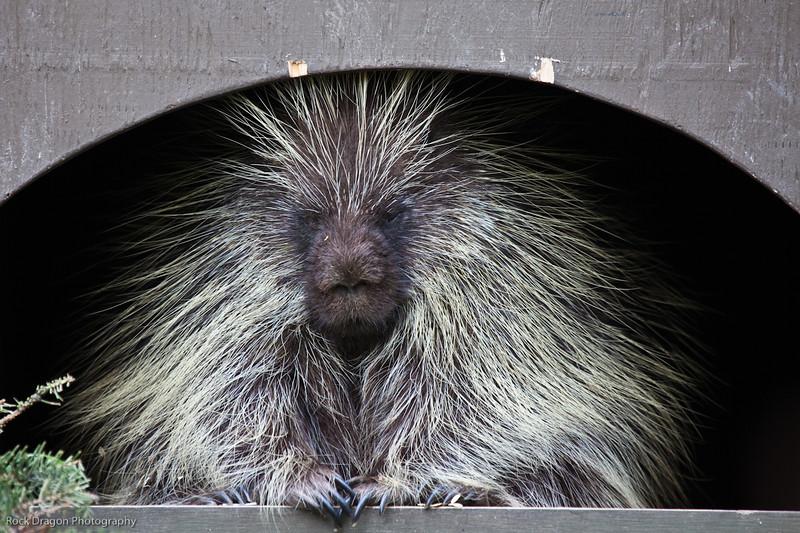 North American Porcupine, Calgary Zoo, June 22