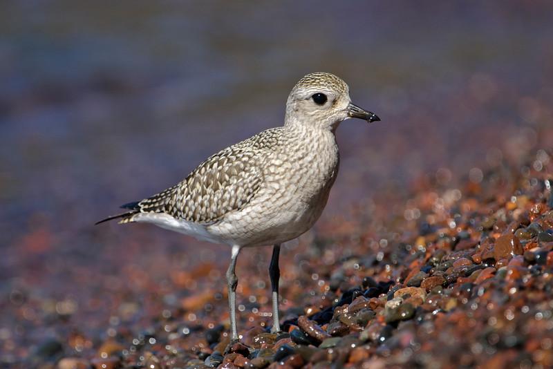 Plover - Black-bellied - Little Marais, MN