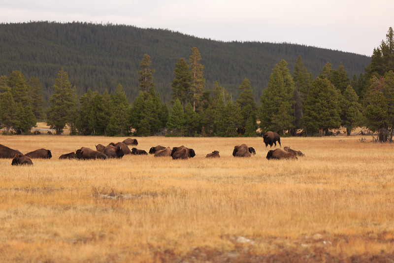 Buffalo along the Firehole River 008