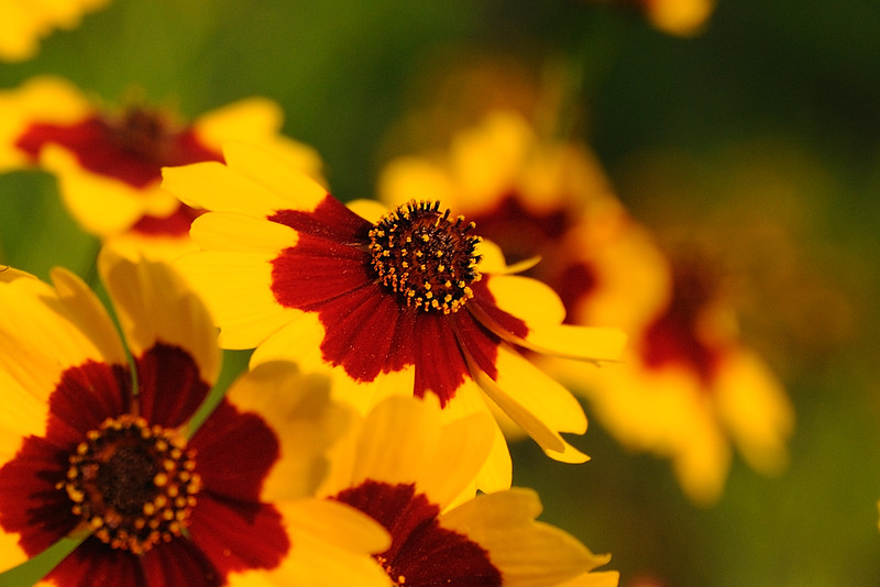Golden Tickseed Coreopsis