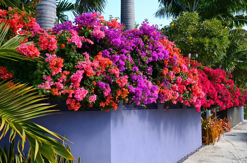 Bougainvillea explosion on Washington Street