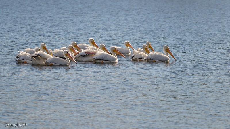 White Pelicans Invade Cheval GC
