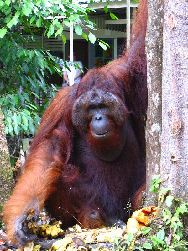 "huge male orangutan at an orangutan rehabilitation reserve outside kuching.  they are ""semi-wild."""