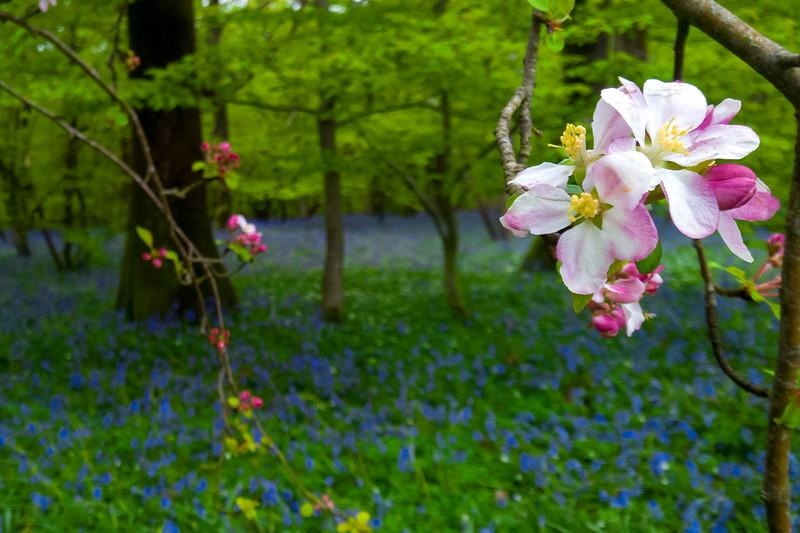 bluebellwoods-2.jpg