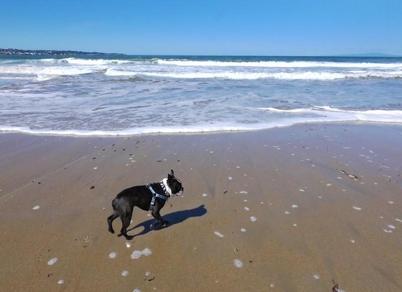 Philo on the beach in Monterey
