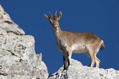 Spanish Ibex (Cabra montesa)