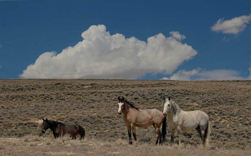 Featured Wild Horse Sale Galllery