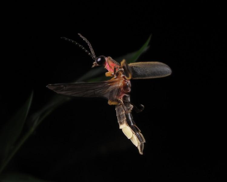 Firefly_2012_06_24_3532
