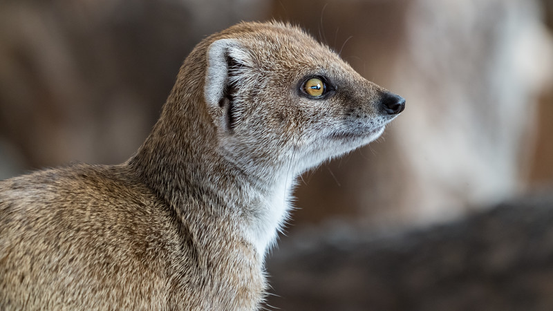 Animals, Marwell Zoo, Mongoose, Yellow Mongoose @ Marwell Zoo, City of Winchester,England - 04/02/2018