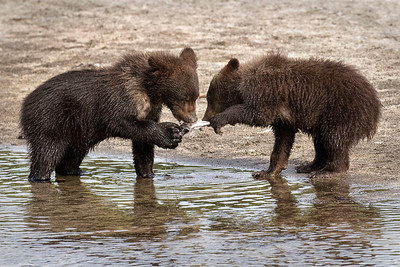 Brown Bear Fishing Alaska