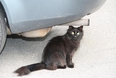 Stray Cat, Mauch Chunk St, Dutch Hill, Tamaqua (4-28-2012)