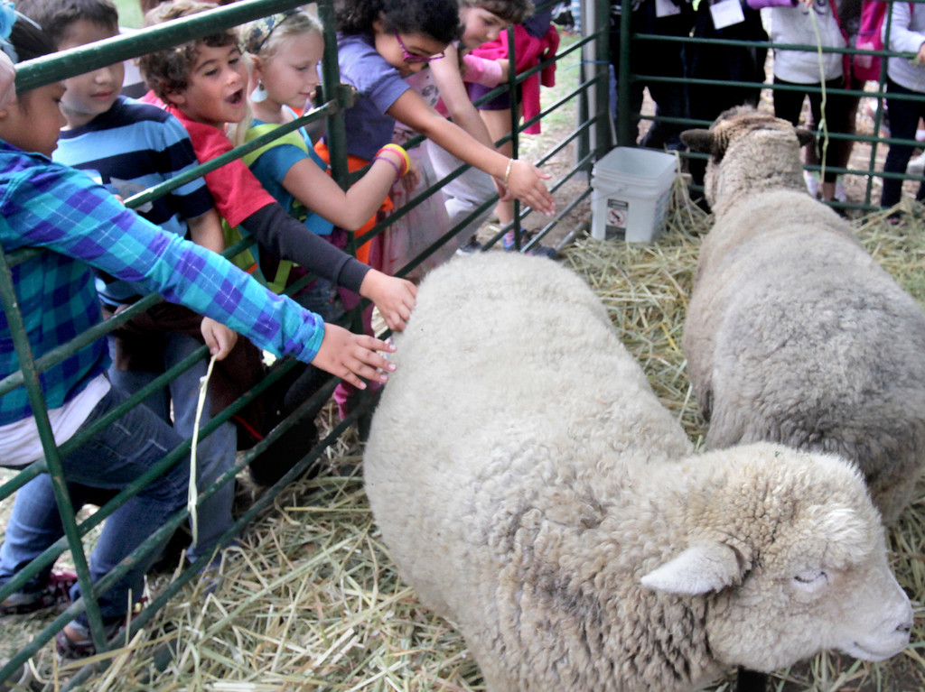 . A pair of sheep is a popular draw at the Agriculture History Project\'s Yesterday\'s Farm at the Santa Cruz County Fair on Wednesday. (Shmuel Thaler/Sentinel)