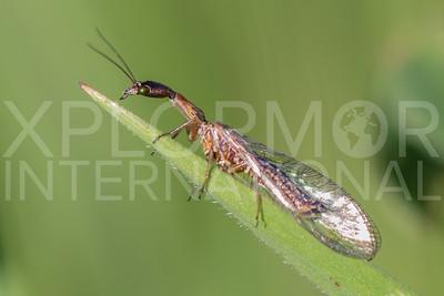 Raphidioptera - Snakeflies