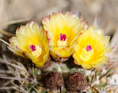 Cactii flowers and buds