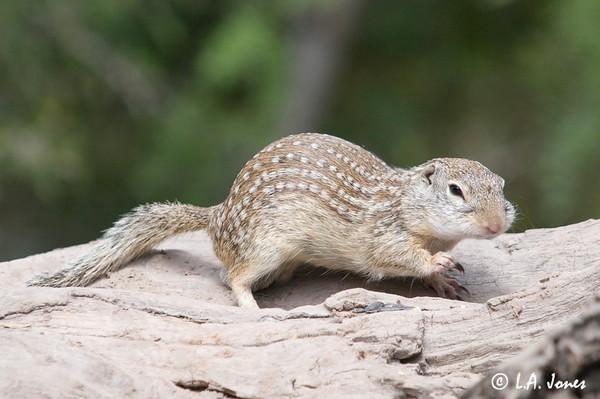 Mexican Ground Squirrel (Sermophilus meexicanus)
