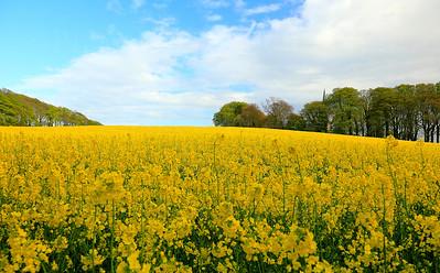 Seaforde, Co Down Rapeseed Field