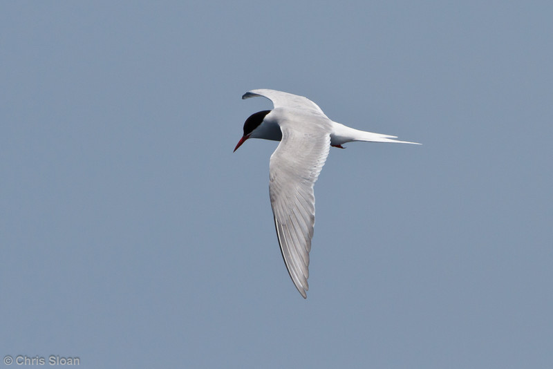 Arctic Tern adult at pelagic trip off Hatteras, NC (06-04-2011) - 021.jpg