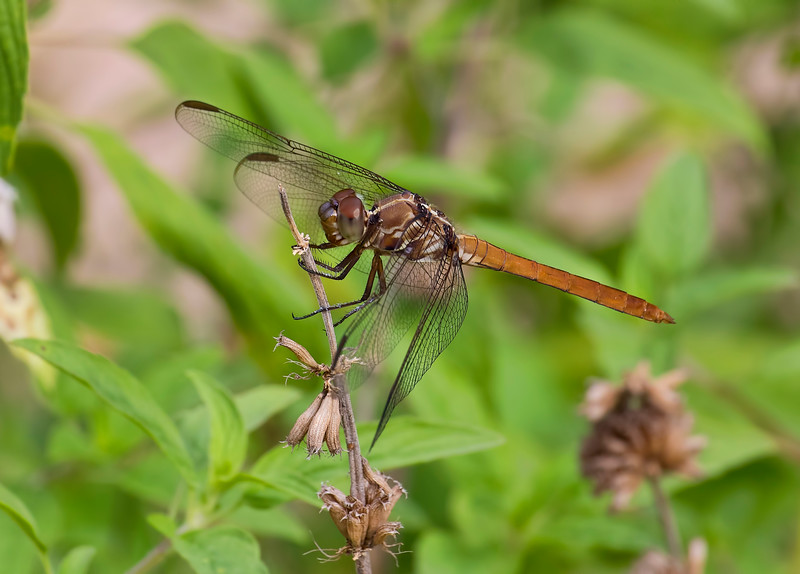 Immature Male, Loxahatchee NWR. FL
