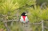 rose-breasted grosbeak male JBSPk D1X DSC_0027