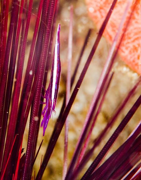 shrimp urchin (1).jpg
