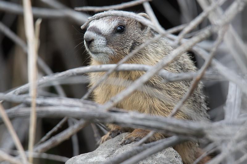Yellow Bellied Marmot-1.jpg