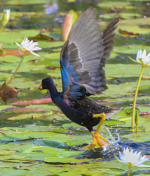 zAnahuac 8-21-14, Old T3i, 088A, PG adult, wings up, on Lilies (1 of 1).jpg