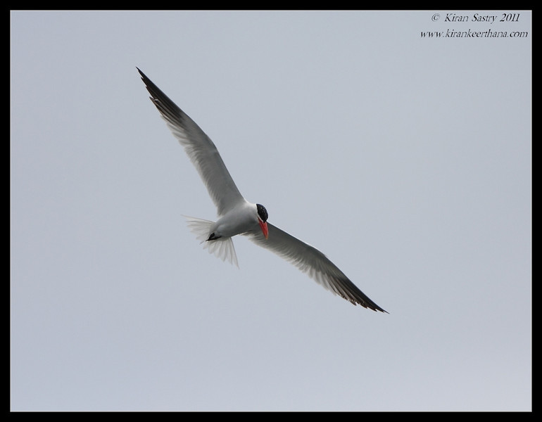 Caspian Tern, Mission Bay, Whale watching trip, San Diego County, California, July 2011