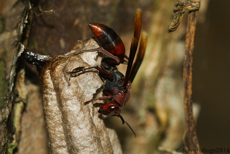 A paper wasp (Vespidae: genus Polistes) builds a nest on Koh Chang Island, Thailand.