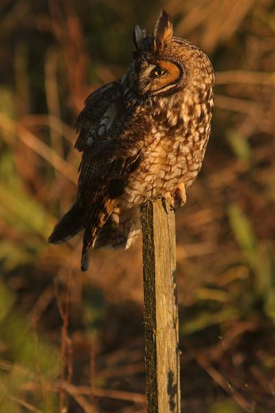 Long-Eared Owl, Las Gallinas ponds