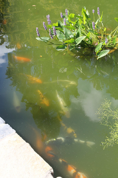 koi and pickerel weed