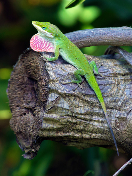 Another Green Anole puffing its throat to assert its dominance.