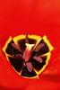 Tulip, Seattle, WA. © 2006 Kenneth R. Sheide