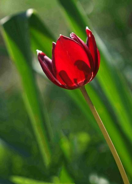 Tulipa cypriaca Gecitköy 18-03-12 (14b).jpg