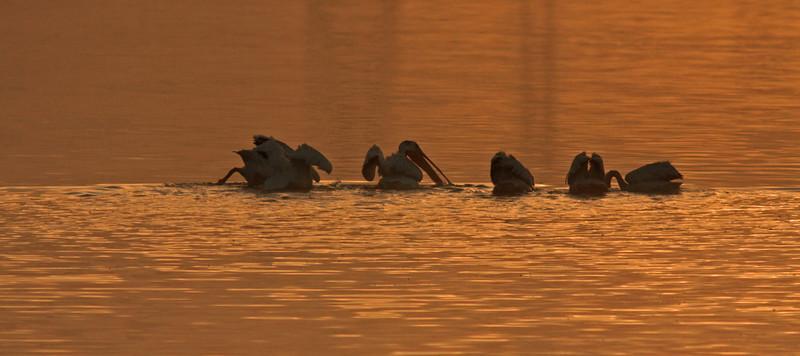Pelicans at Dawn,  Las Gallinas