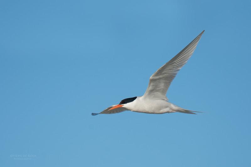 Roseate Tern, Lady Elliot Island, QLD, Dec 2015-20.jpg