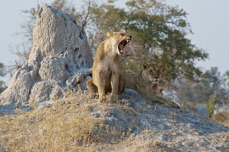 Lion females, Selinda Reserve, Botswana