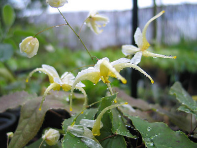 Epimedium D17 'White Flowered'