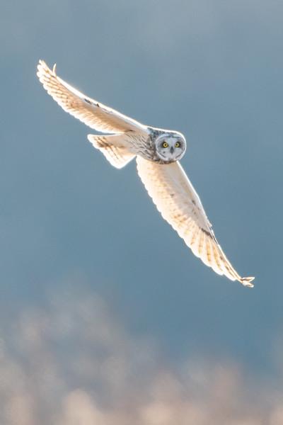 #909 Short-eared Owl