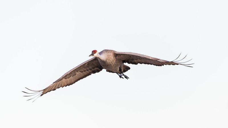 Crane18-5832.jpg