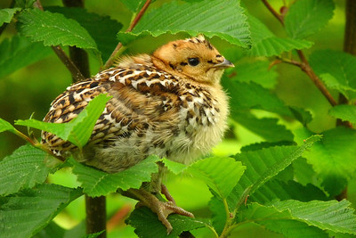 DAY 170 - June 19, 2011 - Baby Grouse in an Alder Tree Cynthia Meyer, Zarembo Island, Alaska
