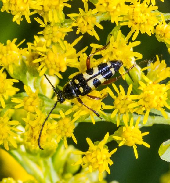 Typocerus zebra flower longhorn beetle on goldenrod Gray Jay Way Sax-Zim Bog MN IMG_4227.jpg