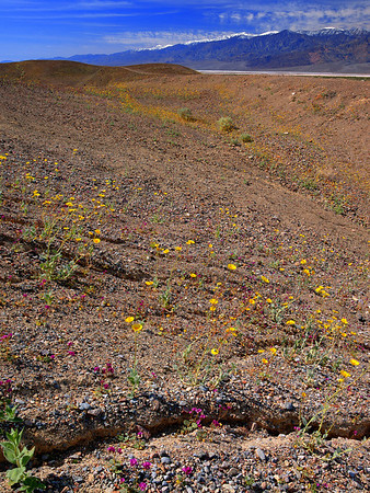 2005 - Death Valley - 100 Year Bloom